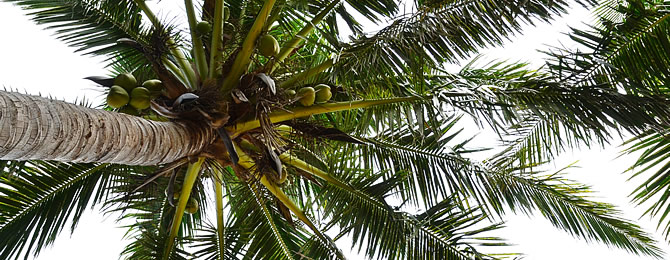 coconut-palm-670